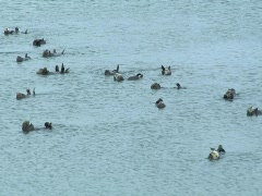 Large group of sea otters swimming Stock Footage