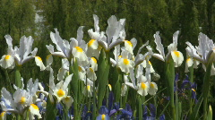 White irises swaying in the wind Stock Footage