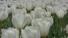 A field of white tulips swaying in the wind - stock footage