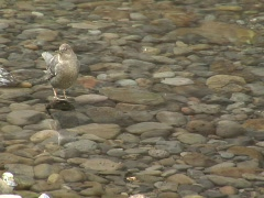 American dippers bob up and down on a stream bed Stock Footage