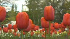 Red tulips with people walking in the background - stock footage