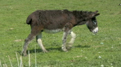 Donkey on a Meadow Stock Footage