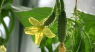 Cucumber flower Stock Footage