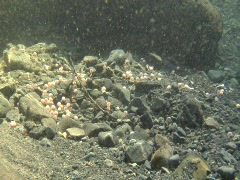 Wide shot of coho salmon eggs Stock Footage