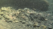 Stock Video Footage of Wide shot of coho salmon eggs