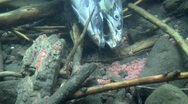 Stock Video Footage of Underwater footage of a coho salmon carcass near her eggs