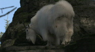 Stock Video Footage of Mountain Goat Lays Down