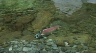 Stock Video Footage of Tilt down to coho salmon carcass