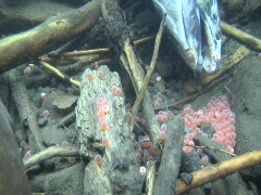 Coho salmon carcass near her eggs Stock Footage