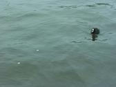 Feeding the waterbirds Stock Footage
