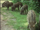 Stock Video Footage of Little boy watches young boars (vintage 8 mm amateur film