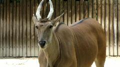 Sable antelope Stock Footage