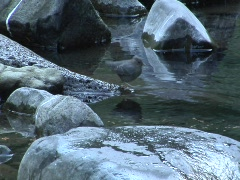 American dipper eating salmon eggs Stock Footage