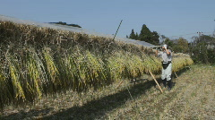 Japanese rice farmer at harvest time Stock Footage