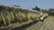 Stock Video Footage of Japanese rice farmer at harvest time