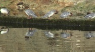 Zoom out of five mergansers on a log to reveal stream Stock Footage