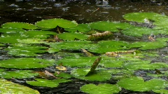 Giant lily platter in pond - stock footage