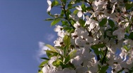 Blooming tree Stock Footage