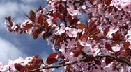 Blooming tree Stock Footage