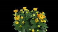 Time-lapse of chrysanthemum flower buds opening 2a Stock Footage