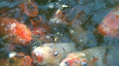 Big koi gobble goldfish eating Stock Footage