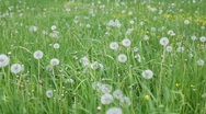 Stock Video Footage of grass and dandelions moving with wind