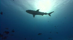 Backlit shark - stock footage