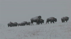 P00729 Bison in Blizzard Stock Footage
