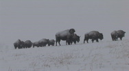 Stock Video Footage of P00729 Bison in Blizzard