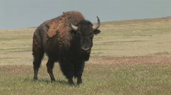 P00731 Bison on Great Plains on Windy Day Stock Footage