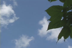 Tree against the cloudy/blue sky Stock Footage