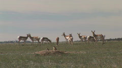 P00734 Pronghorn Antelope and Prairie Dogs Stock Footage