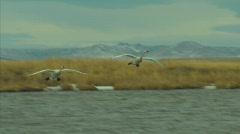 Trumpeter Swan Landing Stock Footage