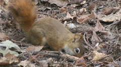 P00737 Red Squirrel Feeding on Forest Floor Stock Footage