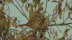P00738 American Tree Sparrow and Wild Plum Tree Stock Footage