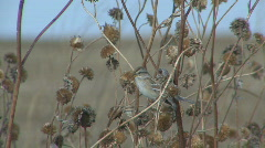 P00747 American Tree Sparrow and Sunflowers Stock Footage