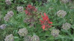 Mountain flowers CR Stock Footage
