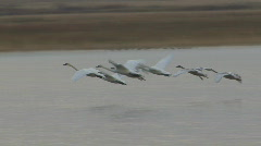 P00750 Trumpeter Swan Family Landing on Water Stock Footage
