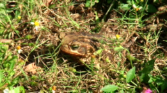 Frog Eats Bug CLOSE Stock Footage