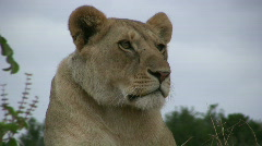 A lioness,close up Stock Footage