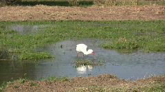 A large bird feeding in a swamp Stock Footage