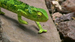 Chameleon walking.2 Stock Footage