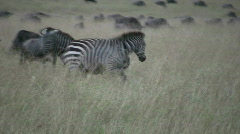 Common zebras fighting 1 Stock Footage