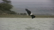 Afrian fish eagle catching a fish Stock Footage