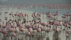 Flamingos and reflection 2 Stock Footage