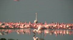 Greater flamingos 1 Stock Footage