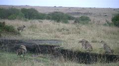 Cheetah cubs fight hyenas Stock Footage