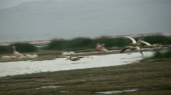 Pelicans flying Stock Footage