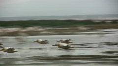 Pelicans landing in water. - stock footage