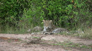 Stock Video Footage of leopard escaping